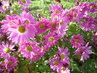 růžové listopadky