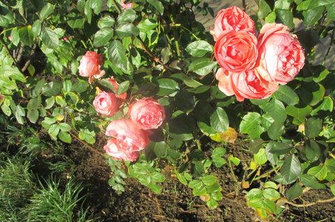 FOTKA - Růže stále kvetou