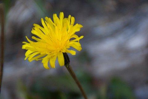 FOTKA - Procházka ke kapličce Kaseregg - Žlutá rozvitá