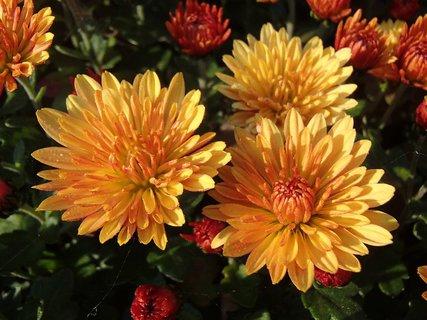 FOTKA - hlavičky oranžových chryzantém