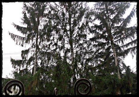 FOTKA - tri ihličnany pred domom,vysoké