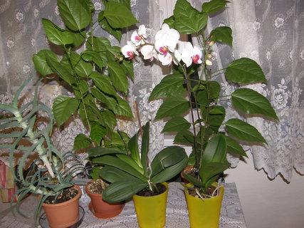 FOTKA - bílá orchidej