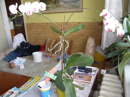 FOTKA - odnož orchideje