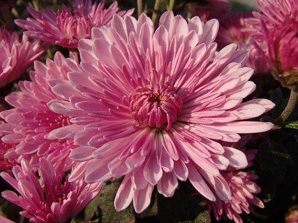 FOTKA - vyfarbená do ružova
