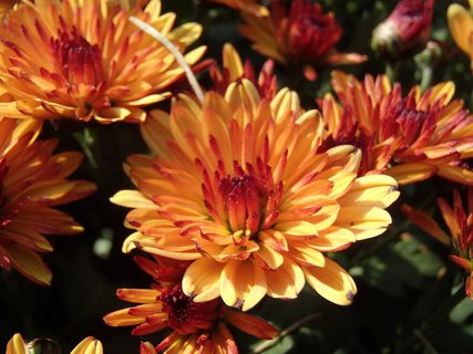 FOTKA - rozkvitajúce chryzantémy