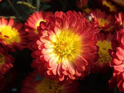 FOTKA - červenožltá orosená chryzantéma