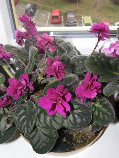 FOTKA - tmavě růžová fialka