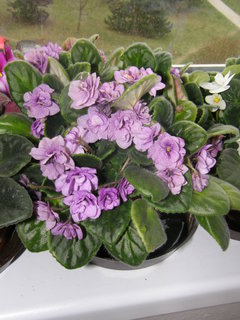 FOTKA - fialová fialka