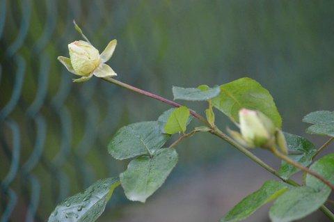 FOTKA - bílá růže má taky ještě poupata
