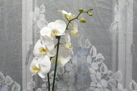 FOTKA - orchidej od syna