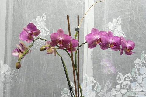 FOTKA - takto mi nyní dělá radost orchidej