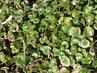 lednový zelený popenec