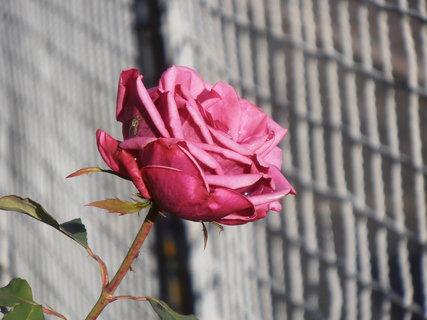 FOTKA - Růže s mouchou a kapkou vody 19.12. 2015