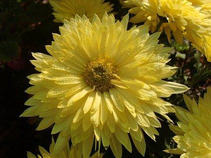 FOTKA - krásna žltá orosená