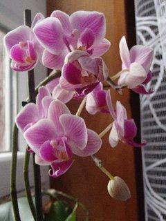FOTKA - orchidea