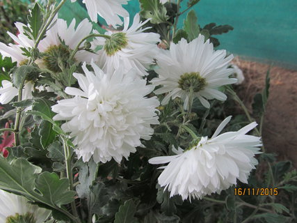 FOTKA - Bílá u plotu
