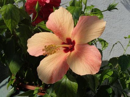 FOTKA - čínska ruža