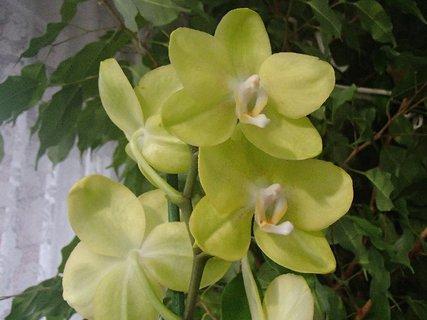 FOTKA - zelenkavá orchidea
