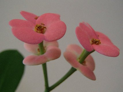 FOTKA - kvety euforbie