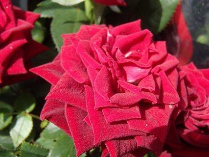 FOTKA - ruža z kytice
