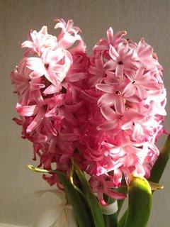 FOTKA - rozkvitnutý hyacint