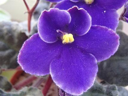 FOTKA - kvitne fialka
