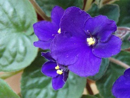 FOTKA - modrofialová fialka