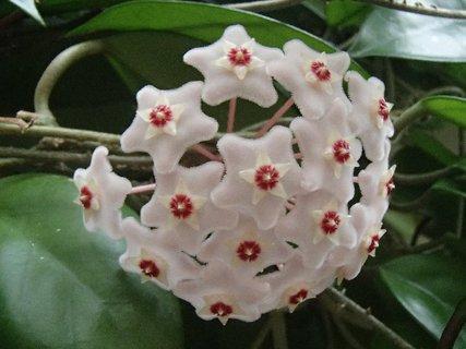 FOTKA - kvet voskovky