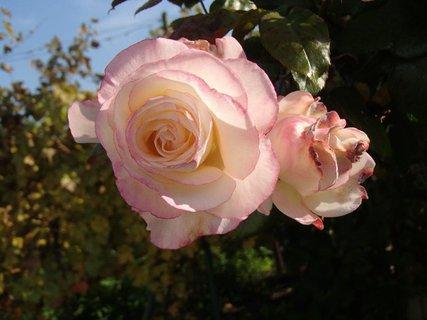 FOTKA - jesenné ruže