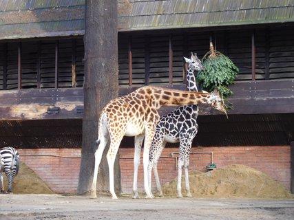FOTKA - Žirafám chutnají naše stromečky