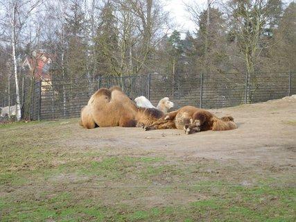 FOTKA - Velbloudí siesta