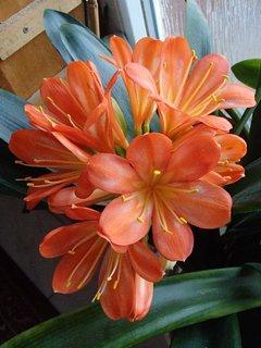 FOTKA - oranžová klívia