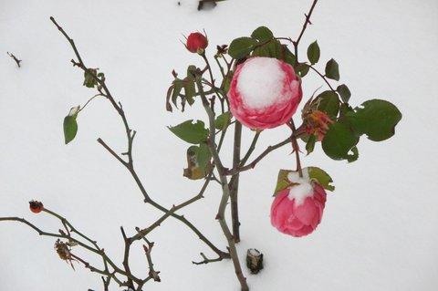 FOTKA - Růže odolává ...