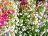vřesovce v květníku