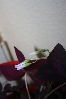 FOTKA - oxalis kvete