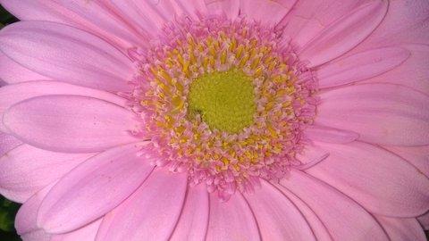 FOTKA - detail světle růžové gerbery