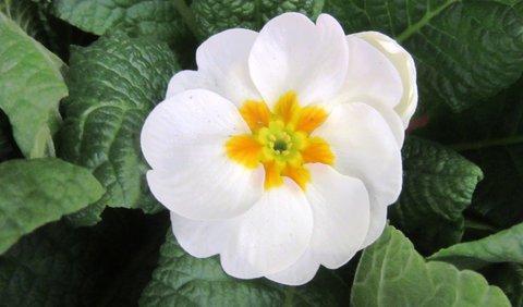 FOTKA - bílý květ petrklíčku