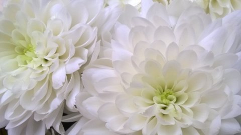 FOTKA - běloučké chryzantémy