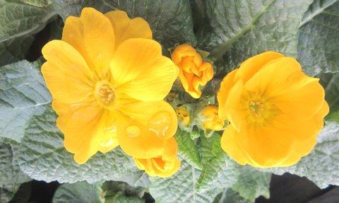 FOTKA - žlutá jarní barvička..prvosenka