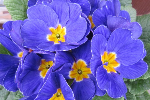 FOTKA - modrý petrklíč
