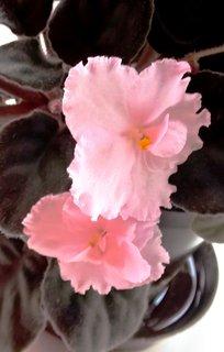 FOTKA - růžová afr. fialka