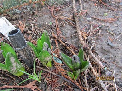 FOTKA - Modré hyacinty vykukují