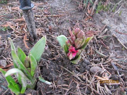 FOTKA - Růžové hyacinty také začínají kvést