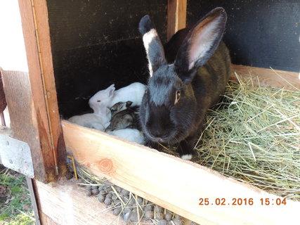 FOTKA - Jedenácti dení králíčci i s maminkou 25.2.2016