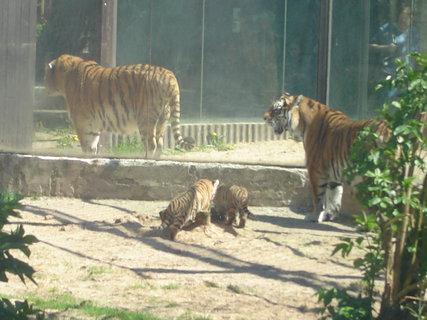 FOTKA - ZOO Dvůr Králové tygři a tygřata