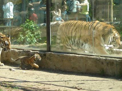 FOTKA - ZOO Dvůr Králové tygřík s tátou