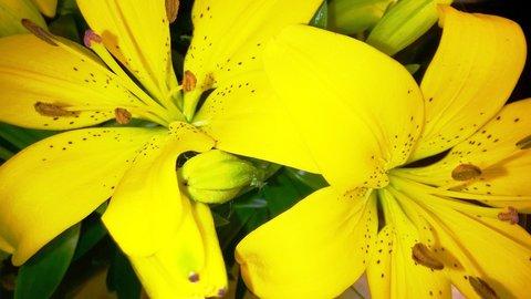 FOTKA - květy žluté lílie