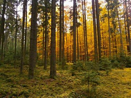 """FOTKA - A poklad bude tam, kde roste """"Zlatý les""""..:-)"""