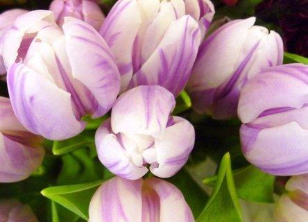 FOTKA - žíhané tulipány