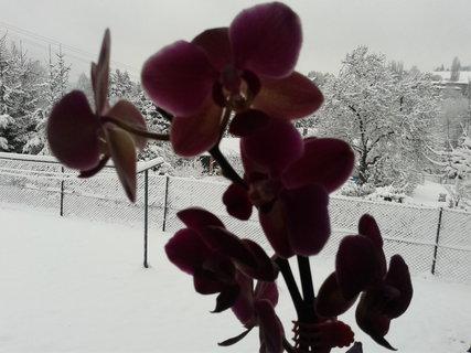 FOTKA - Orchidej a sníh